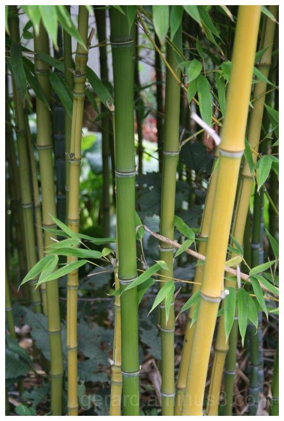 Bamboo Bamboe