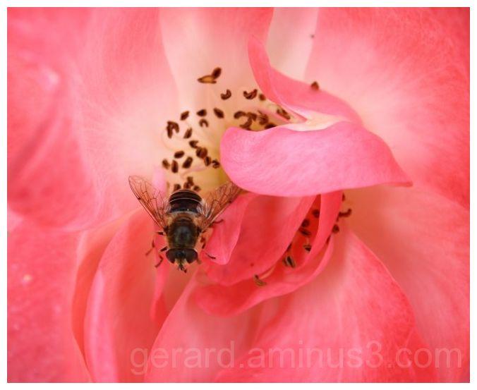 Pink Flower Fly Rose Bloem Vlieg