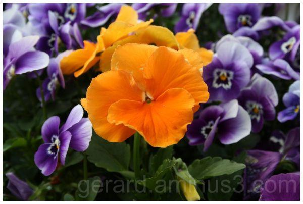 Viola x hybrida 'Clear Crystals Apricot'