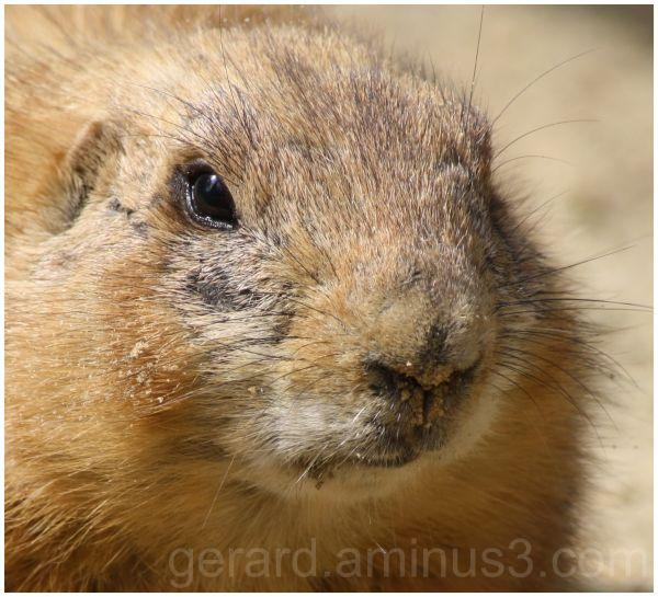 Zwartstaartprairiehond - Black-tailed Prairie Dog