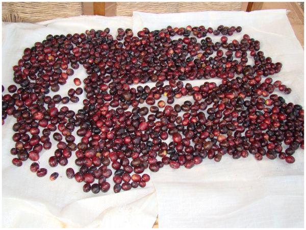 Olives pansides