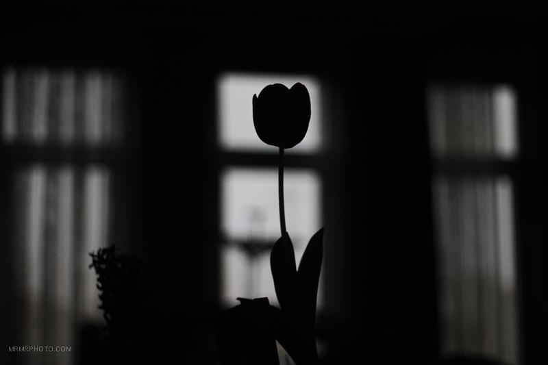 tulip's silhouette
