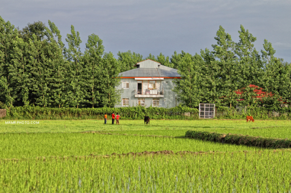 Paddy field in Gilan