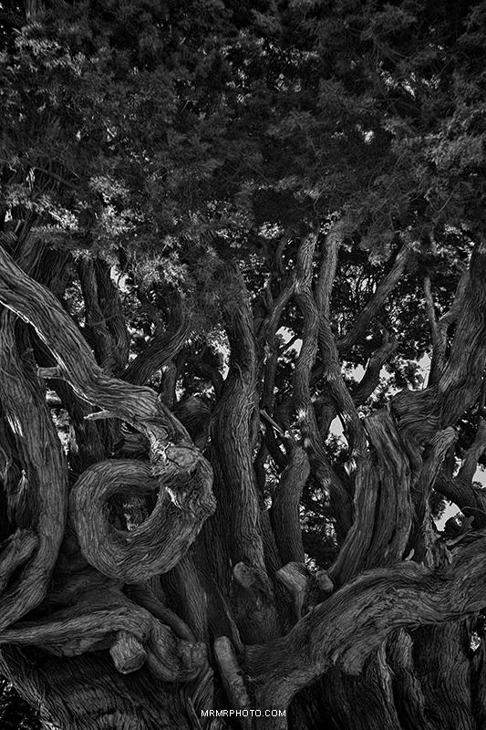 Old cendar tree