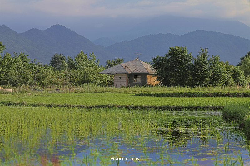 Paddy farm in Gilan