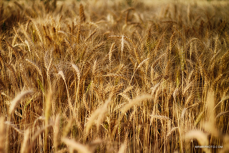 Wheat farm - Golpaigan