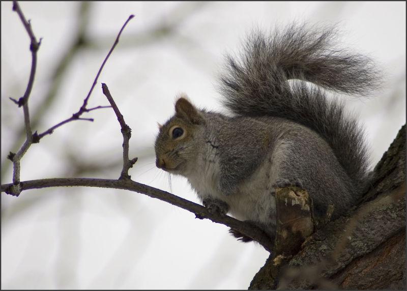 Grey Day, Grey Squirrel