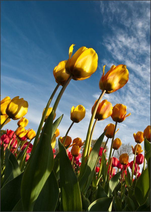 Ottawa Tulip Festival 1