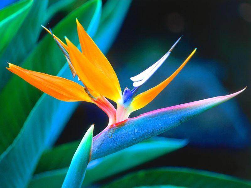Bird of Paradise in Hawaii