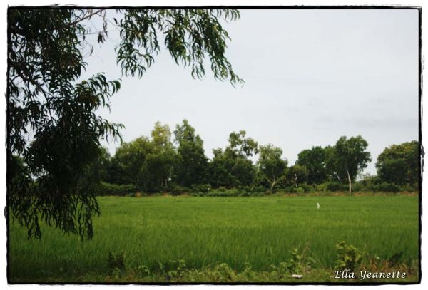 Another Green Field of Madura