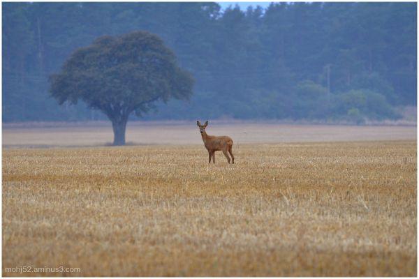 tree deer autumn field öland träd rådjur stubbåker