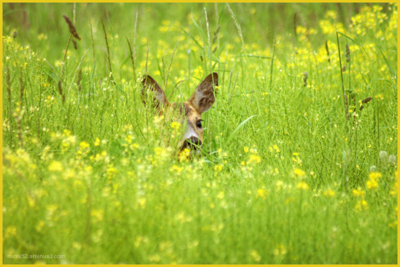 Deer,Flower,Cute,Hiding,Field,Öland