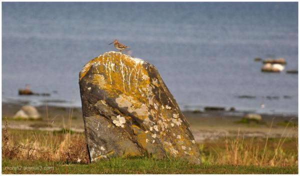 snipe,wader,bird,seashore,Öland
