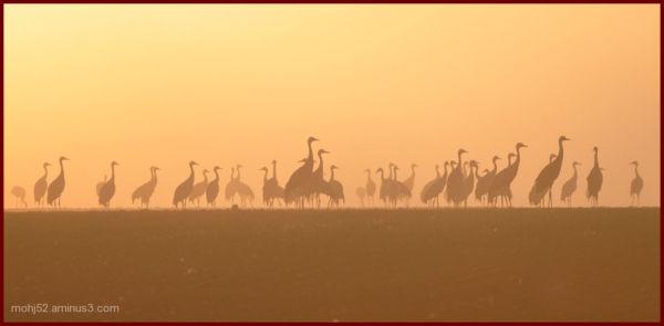 crane fog morning field trana dimma morgon
