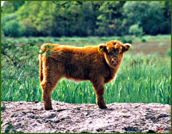 Highland cattle, Öland