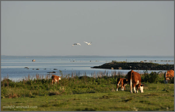 Grazing animals on Öland