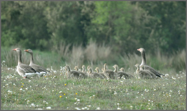 Greylag family in the pasture lands