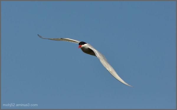 Little Tern, Alby, Öland