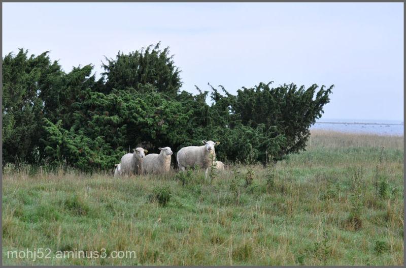 Grazing sheep, Risinge, Öland