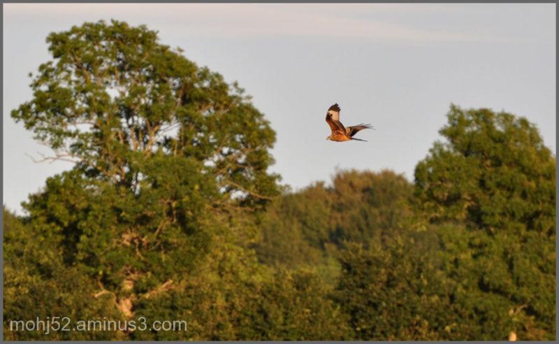 Red Kite, Risinge, Öland