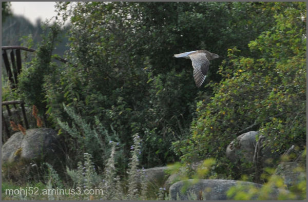 Eurasian Curlew, Risingehamn, Öland