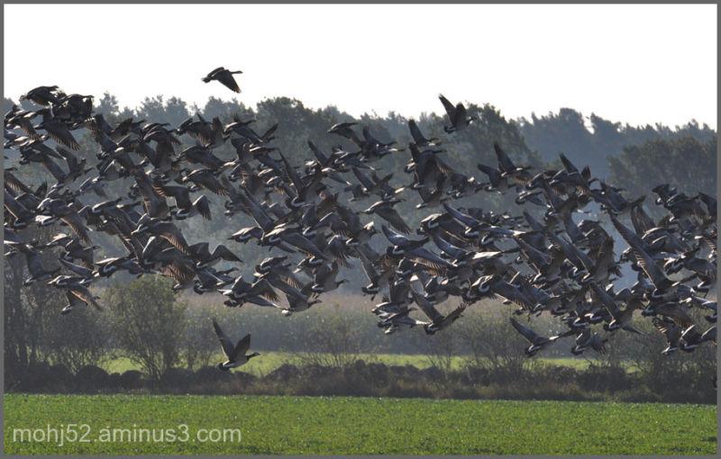Barnacle Goose, Risingehamn, Öland