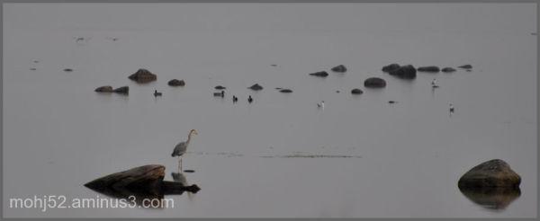 Heron fishing, Klovenhalv, Öland