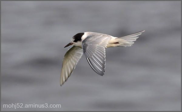 Little tern, Klovenhall, Öland