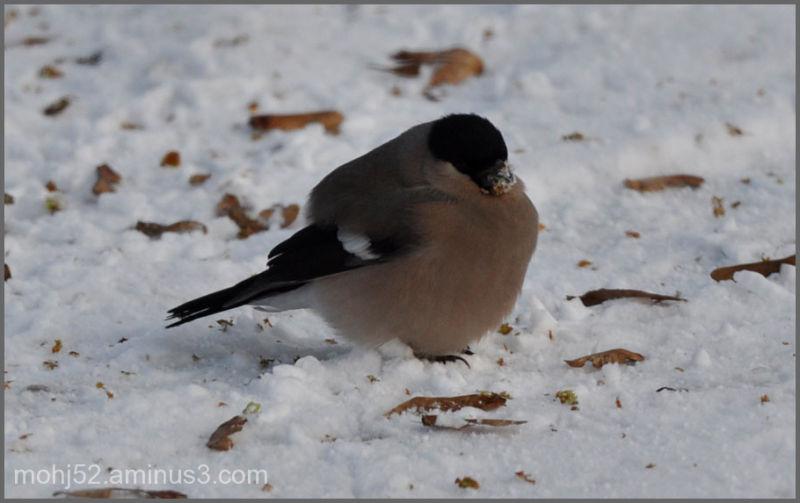 Bullfinch in the snow, Kastlösa, Öland