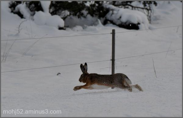 Running hare, Risingehamn, Öland