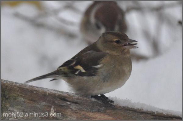 Chaffinch female, Mörbylånga, Öland