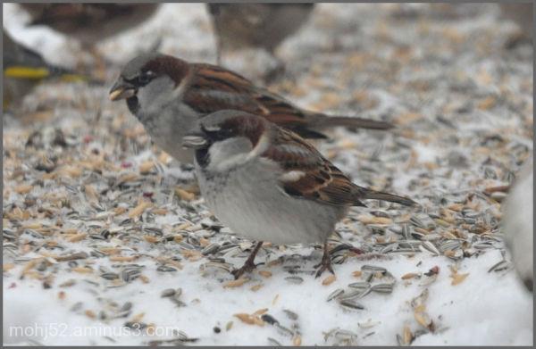 House Sparrow, male, Mörbylånga, Öland