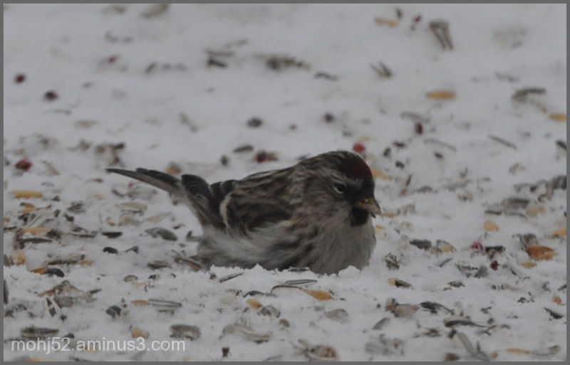 Common Redpoll, female, Mörbylånga, Öland