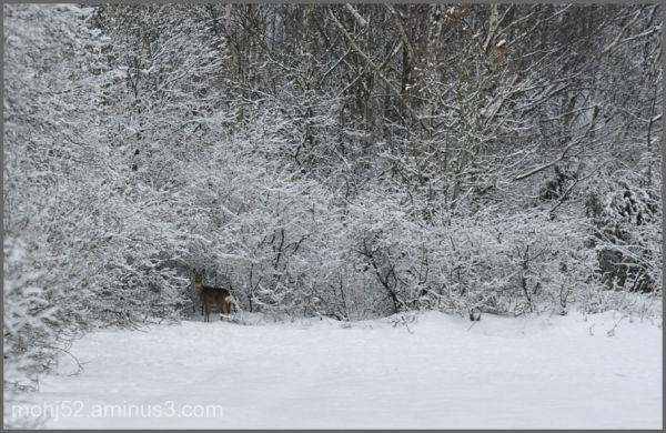Roe in winter, Risinge, Öland