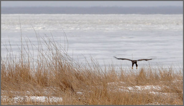 White-Tailed Eagle going down for landing, Risinge