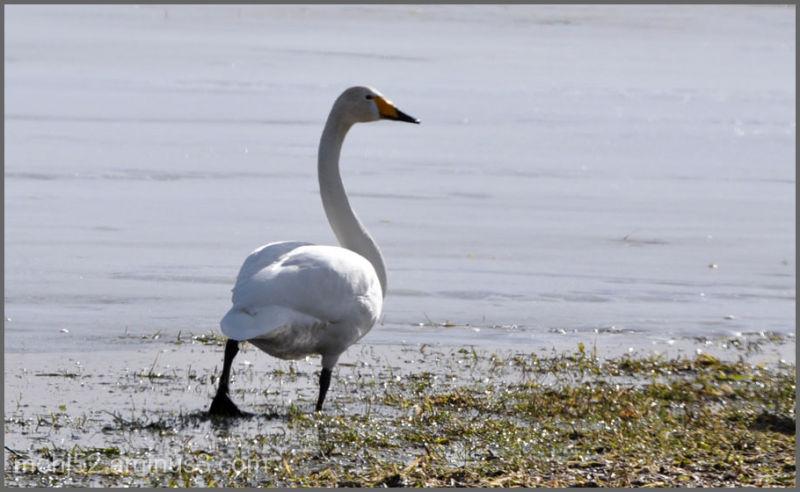 Whooper Swans, Ebbelunda, Öland