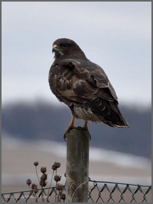 Common Buzzard, Mörbylånga, Öland