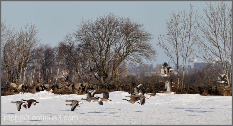 Geese, Risinge, Öland