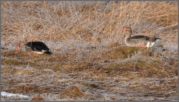 Greylag Goose couple, Risingehamn, Öland
