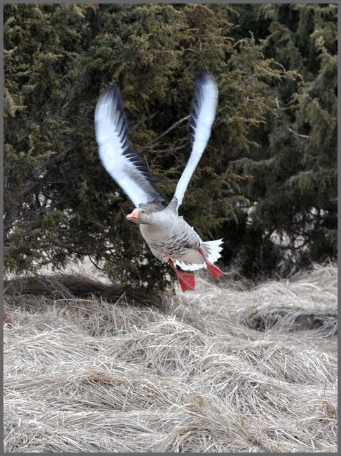 Greylag Goose, Klovenhall, Öland