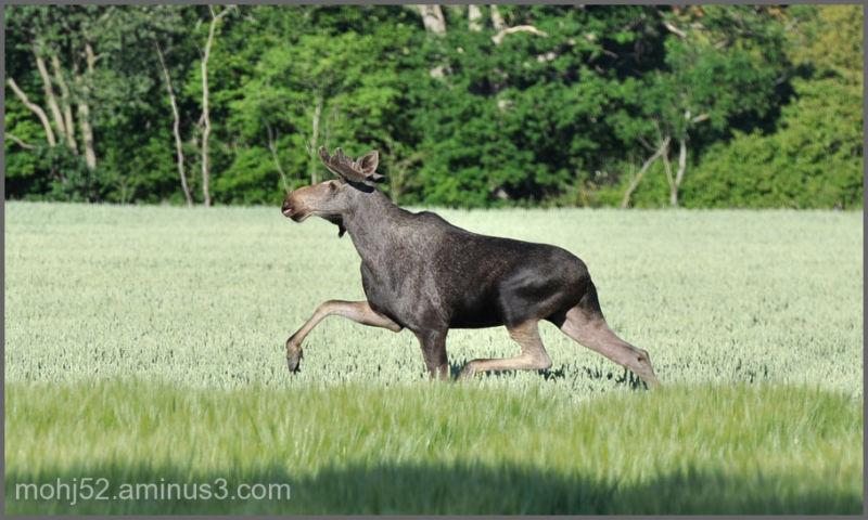 Moose, Rösslösa, Öland