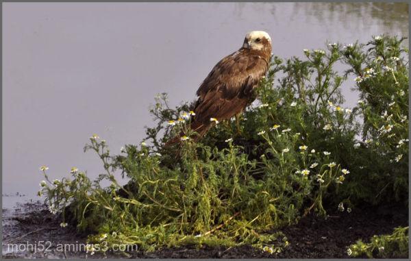 Western Marsh Harrier, Klovenhall, Öland