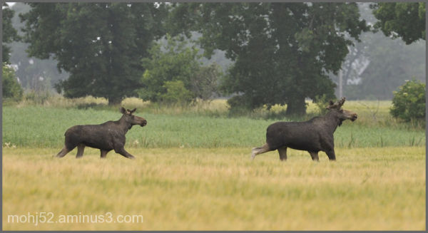 More Moose, Risinge, Öland
