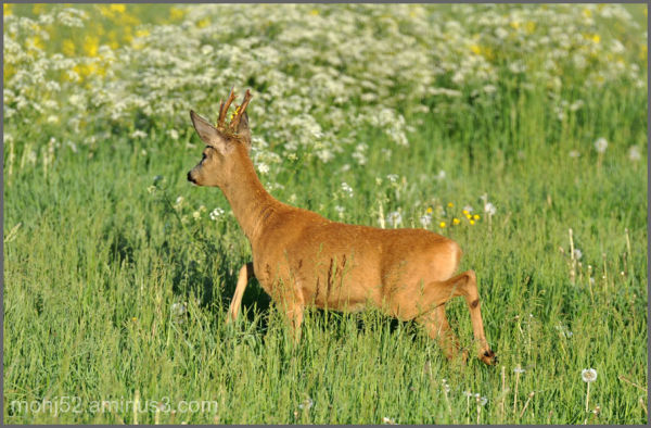 Young buck with flowers on the horns