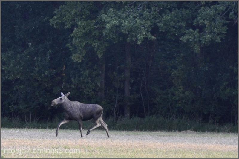 Moose, Risinge, Öland