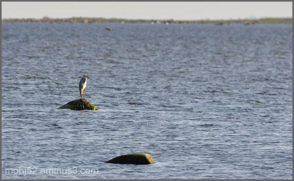 Heron, Risingehamn, Öland