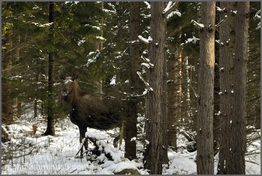 Moose, Ebbegärde, Böle