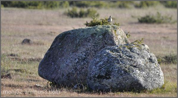 European Golden Plover, Alvaret, Öland