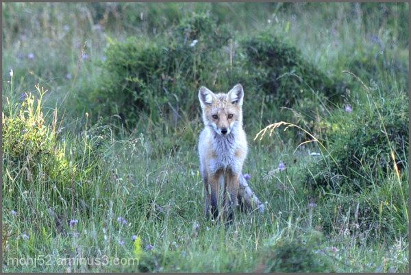 Young fox, Åkerby, Öland, Sweden