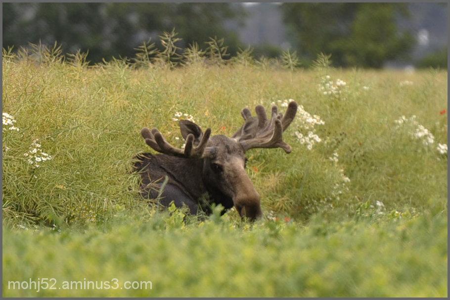 Moose, Beteby, Öland, Sweden